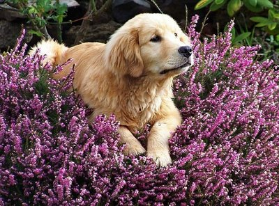 Aromatherapy-in-Pets